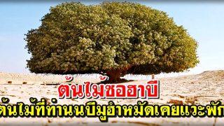 ต้นไม้ซอฮาบี ต้นไม้ที่ท่านนบีมูฮำหมัดเคยแวะพัก